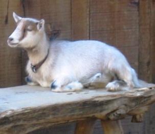 goat child.