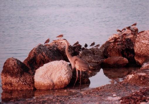 Florida shore birds, 1986.