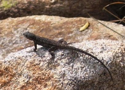 Molino Basin lizard