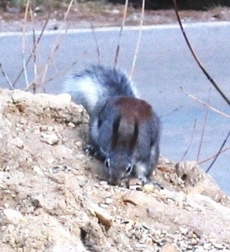 Abert's Squirrel goes about his business