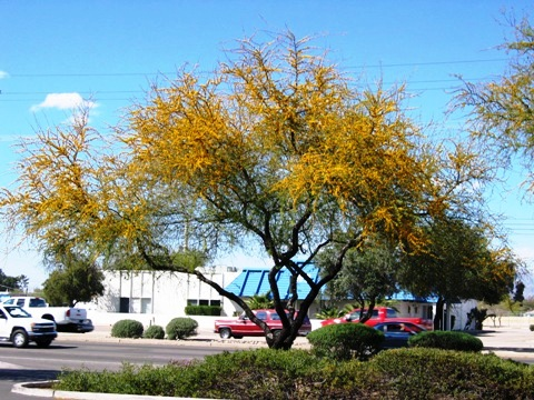 Palo verde in bloom, or possible a desert mesquite.